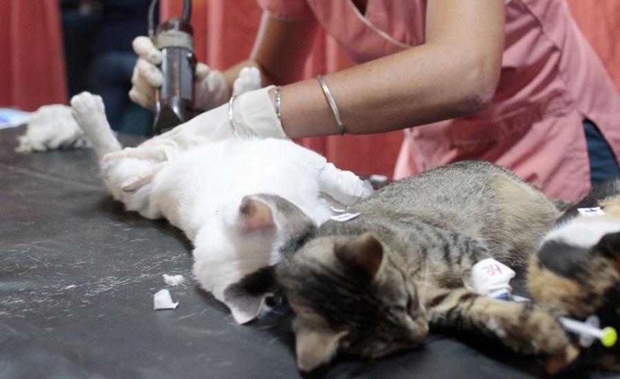 En un operativo especial, Alte Brown y Quilmes castran más de 100 animales por día